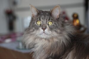maine-coon-